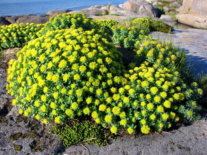 адовые цветы с мясистыми листьями 720 x 540 · jpeg