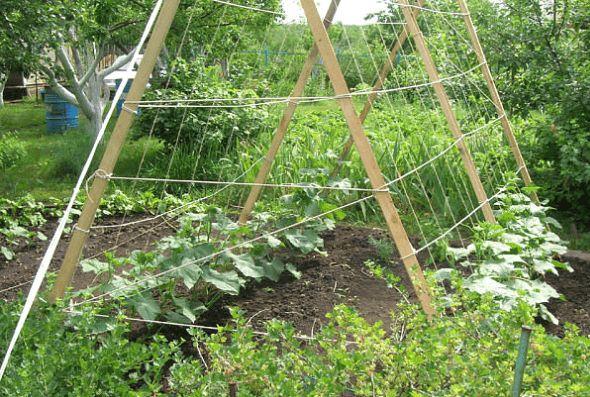 Огурцы - выращивание, посадка, уход. В открытом грунте и ...